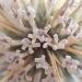 Echinops épineux