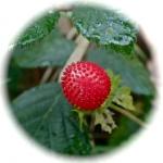 fraisier,plante sauvage