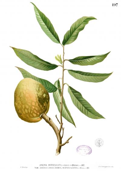Annona_reticulata_Blanco1.197.png
