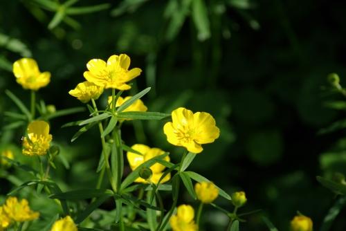 fleur, renoncule, jaune
