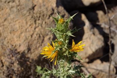 scolymus hispanicus-scolyme-ft.jpg
