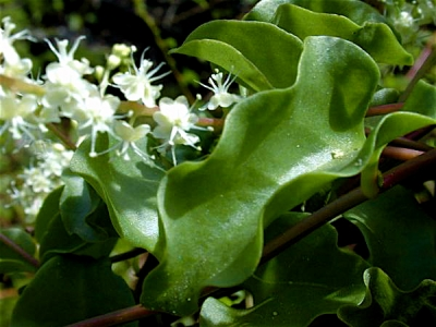 Anredera_Cordifolia-librededroits.jpg