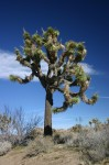Joshua_Tree_in_Joshua_Tree_National_Park.jpg