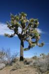 Joshua_Tree_in_Joshua_Tree_National_Park.jpg