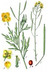 Diplotaxis_tenuifolia_Sturm32.jpg