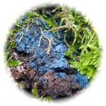 lichen bleu.jpg