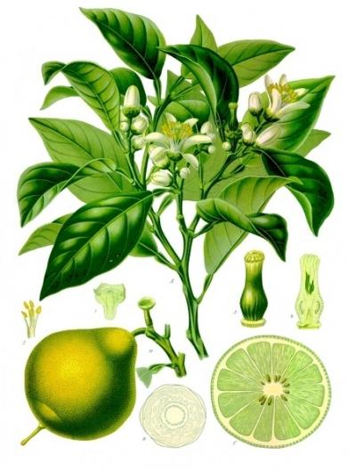citrus bergamia-free.jpg