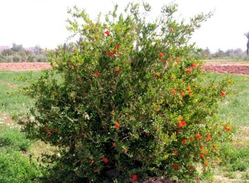 botanique,cuisine,nature,maroc