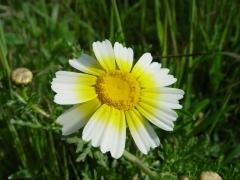 Chrysanthemum_coronarium_var._discolob.JPG