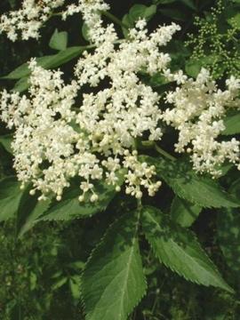 450px-Sambucus_nigra1.jpg