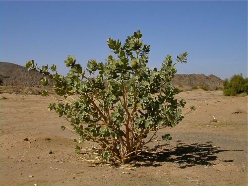 arbre,plante,botanique,désert,trek,maroc