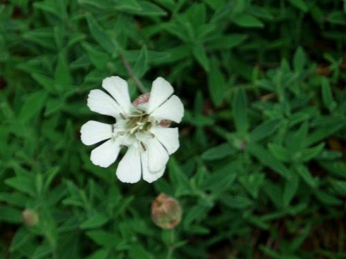 Silene vulgaris.jpg