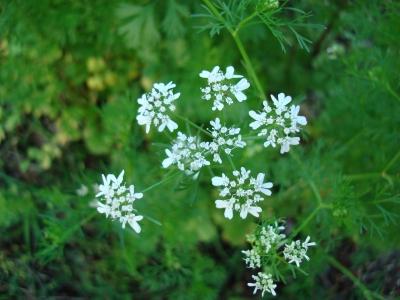 Coriandrum_sativum_Blossoms3.jpg