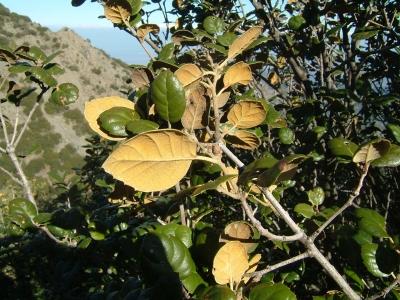 Leavesgoldenoak-Quercus alnifolia-ccbysa3-Chneophytou.jpg