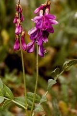 hedysarum alpinum-jessie harris.jpg