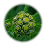 fleur,sommité,capitules,jaune,plante sauvage, botanique