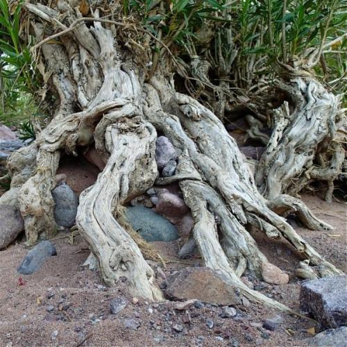 arbre,laurier,désert