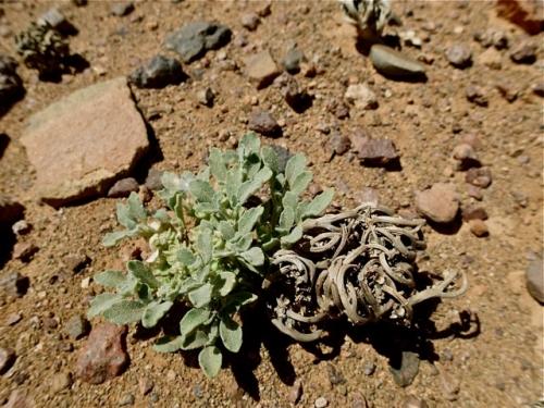 désert,plante,botanique