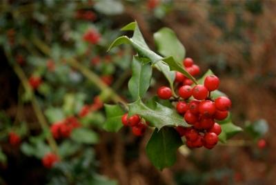houx-ilex aquifolium-web grand.jpg