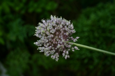 Allium_ampeloprasum_8701-SB-johnny-cc-by-sa-3.0.JPG
