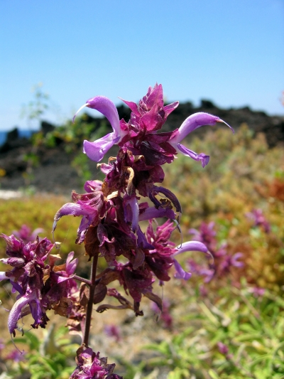 Salvia_canariensis-.jpg