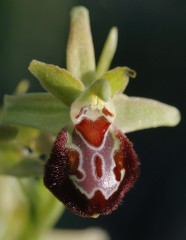 Marko Kluber-ophrys provincialis.jpg