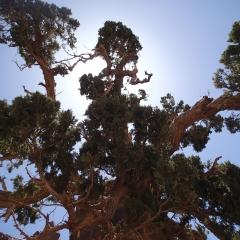 arbre,genévrier,tree,nature,maroc