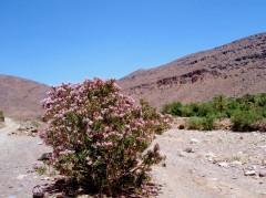 laurier rose_nerium oleander - 1.jpg