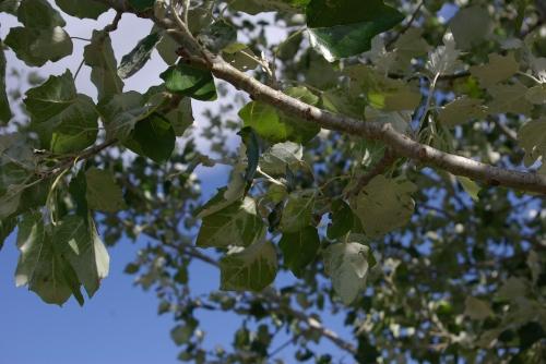 arbre,sève,printemps,détox,